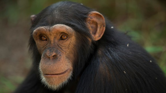For only the second known time, a chimp has a disorder similar to Down Syndrome